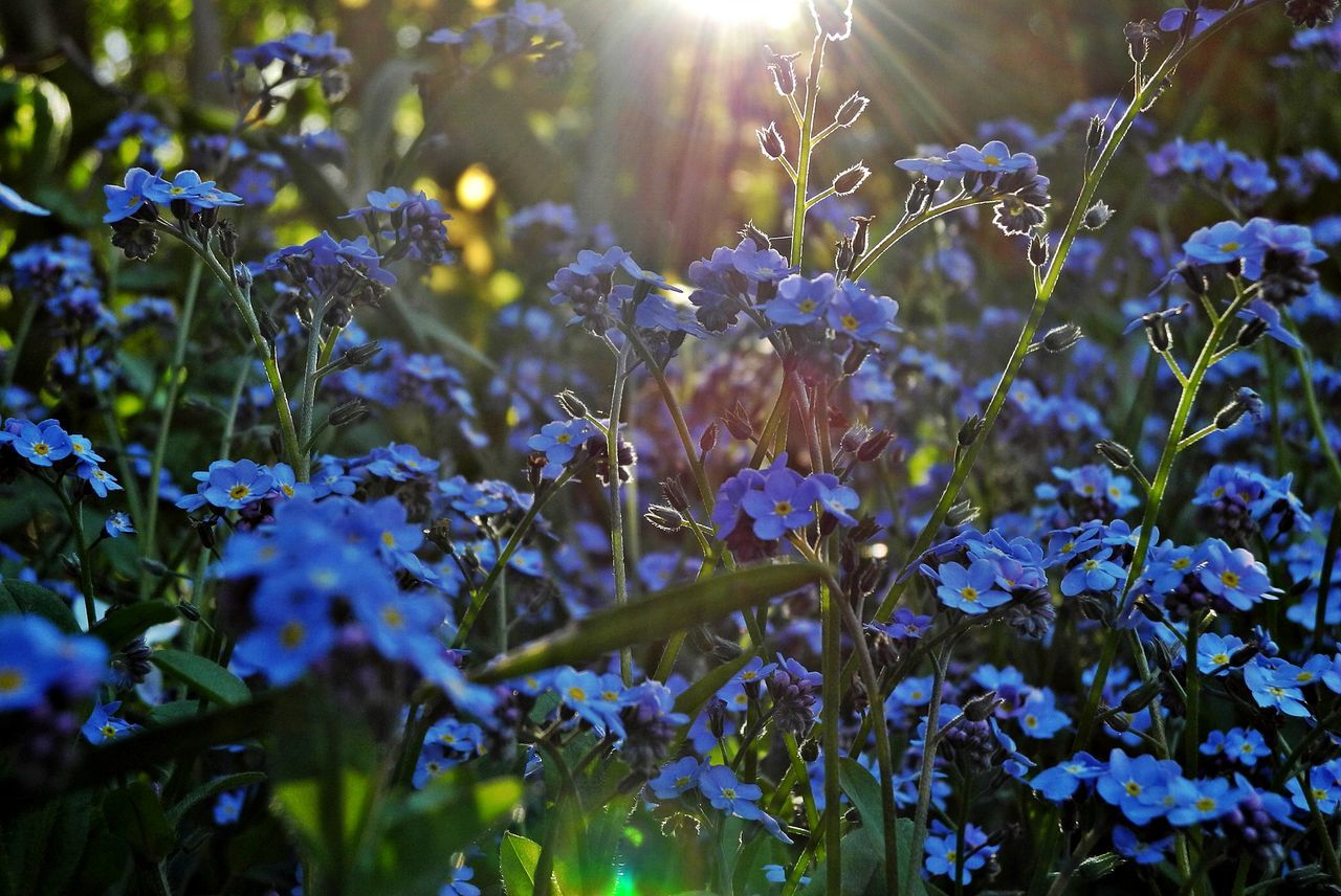 Beauty In Nature Close-up Day Flower Fragility Freshness Growth Nature No People Outdoors Plant Sunbeam Sunlight Blue Forget Me Not Blue Flowers Vergissmeinnicht Forget-me-not Myosotis Blooming Sunlight Through Flowers Close Up Nature Garden Flowers Flower Head Spring