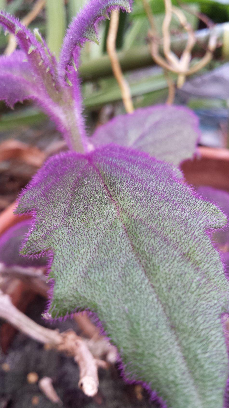 The Purist (no Edit, No Filter) Purple Hair Leaf Hairy Leaves Beautiful My Yard  Nature Backyard Beauty