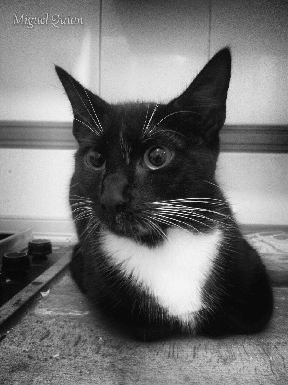 Trufa Black & White Monochrome Blanco Y Negro Blackandwhite Cat Pets Corner Eyes Alert