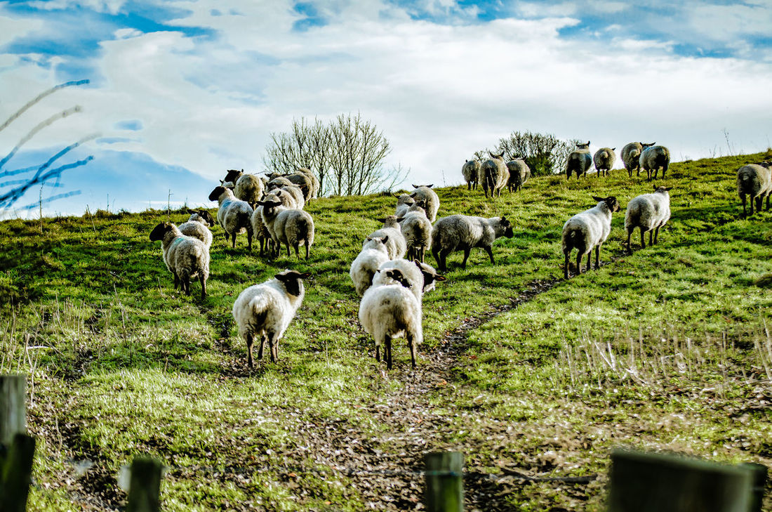Sheep going back into their field on the South Downs Animal Themes Day Domestic Animals Farm Farm Life Field Flock Flock Of Sheep Grass Grazing Hill Horizon Large Group Of Animals Livestock Mammal Nature Nature No People Outdoor Living Outdoors Sheep Sky South Downs Wooly Yard Animals