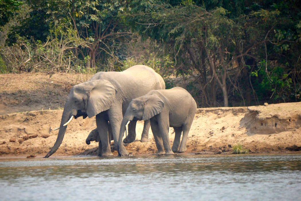 African Bush Animal Animal Themes Animal Trunk Animals In The Wild Elephant Elephants Drinkink Herbivorous Mammal Nature Outdoors Safari Animals Water Wildlife Zambezi River