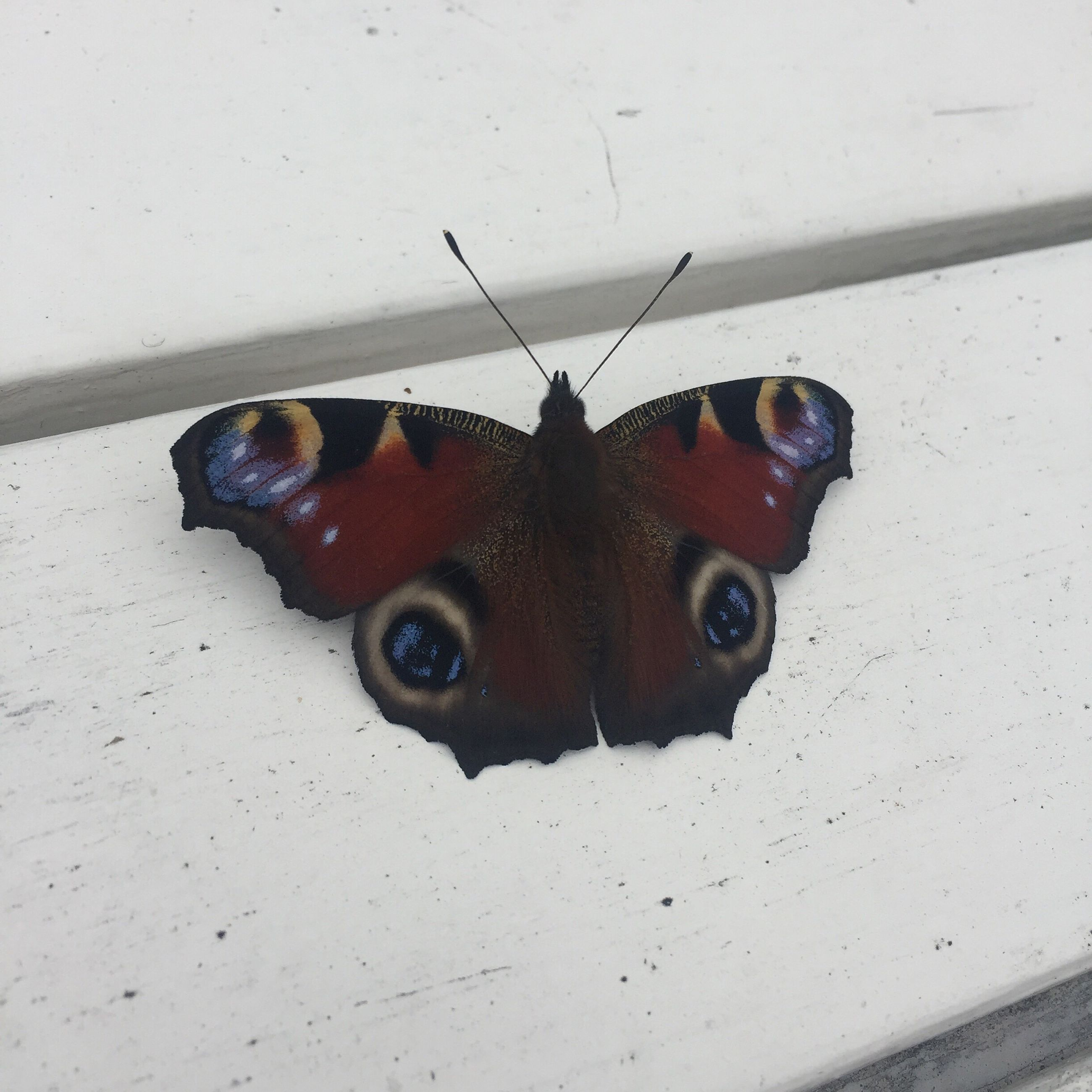 one animal, animal themes, black color, close-up, insect, looking at camera, domestic animals, brown, multi colored, animal markings, butterfly, pets, zoology, hiding, no people, overhead view