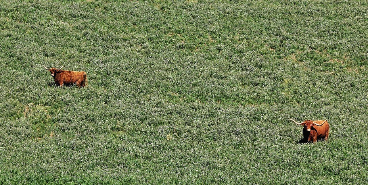 Longhorns Cattle Green