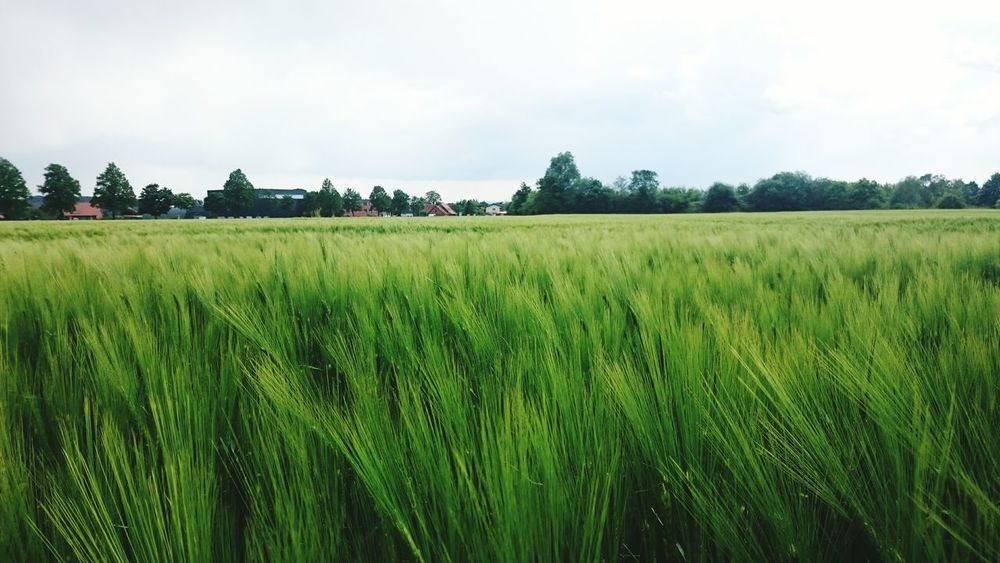 Wheat Field Farming Things That Are Green