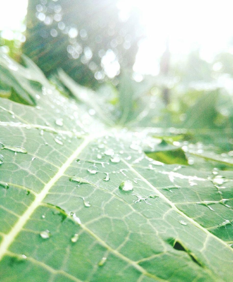 Green backyard. Green Backyard Garden Topical Climate Topical Rainy Days After The Rain Papaya Leaf