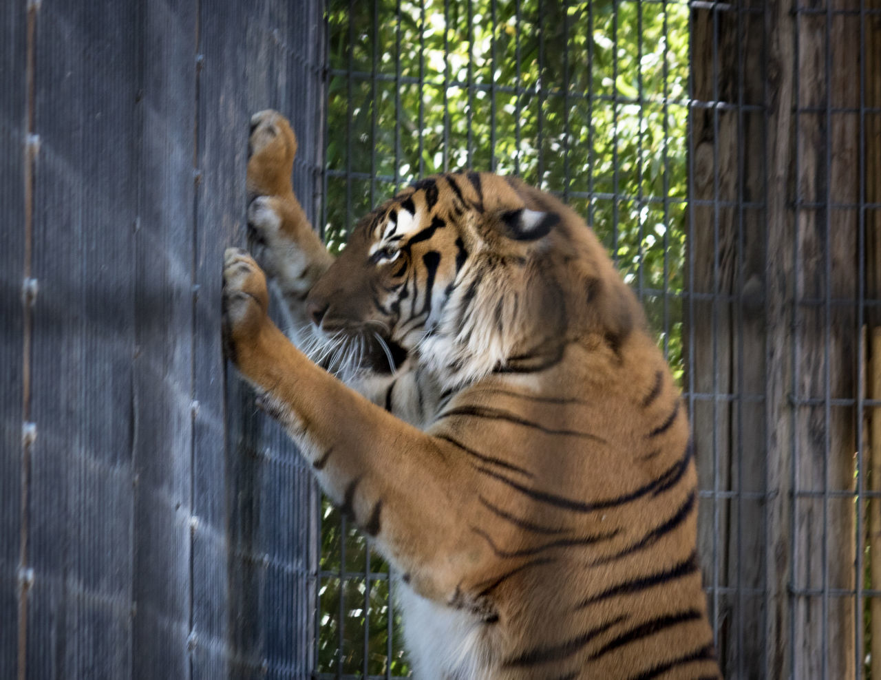 one animal, animal themes, tiger, animals in the wild, animal wildlife, day, mammal, outdoors, no people, nature, close-up