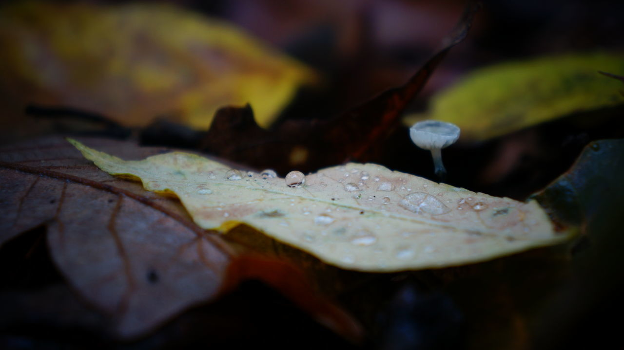 leaf, drop, water, nature, selective focus, wet, close-up, fragility, autumn, beauty in nature, no people, outdoors, day, raindrop, purity, freshness, maple