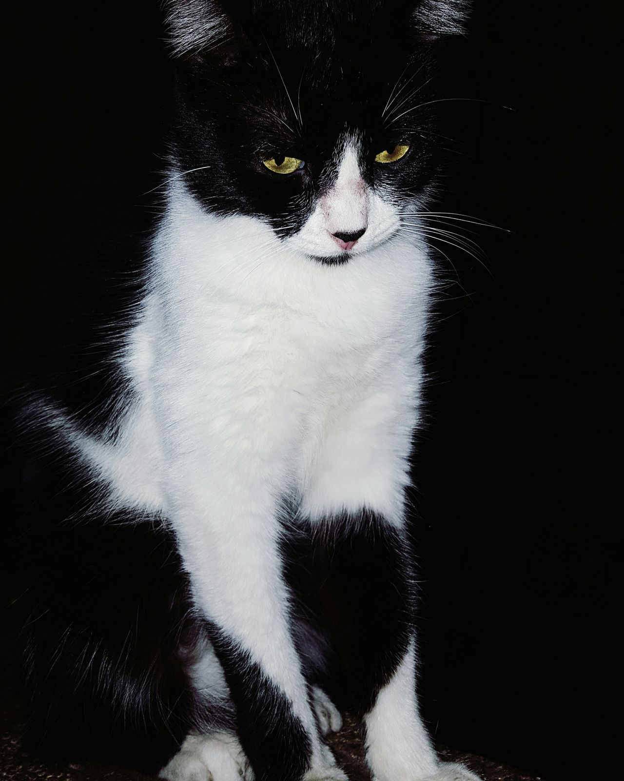 Kitty Cat Babycat Cute Pets Black Background MySunshine Studio Shot Adults Only One Person One Woman Only Adult Only Women Shadow People One Young Woman Only Beauty Young Adult Human Body Part Human Hand Day First Eyeem Photo