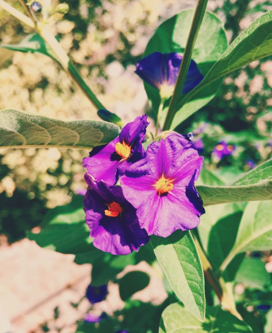 Flowers Summertime Nature EyeEm Nature Lover Purple Flower Taking Photos Flower Collection