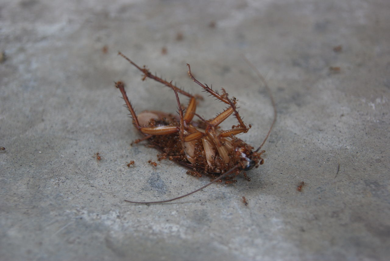 Beautiful stock photos of cockroach,  Animal Wildlife,  Animals Hunting,  Animals In The Wild,  Ant