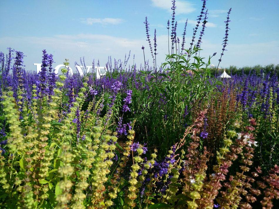 Lavender Garden Purple And Green Flower Dance Pertect Masterpiece From God Herb Garden
