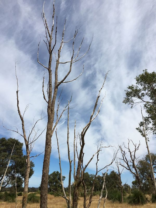 Australia Bare Tree Bare Trees Beauty In Nature Branch Bush Cloud - Sky Clouds Clouds And Sky Country Countryside Day Growth Low Angle View Nature Nature Nature_collection No People Outback Outdoors Scenics Sky Tranquil Scene Tranquility Tree