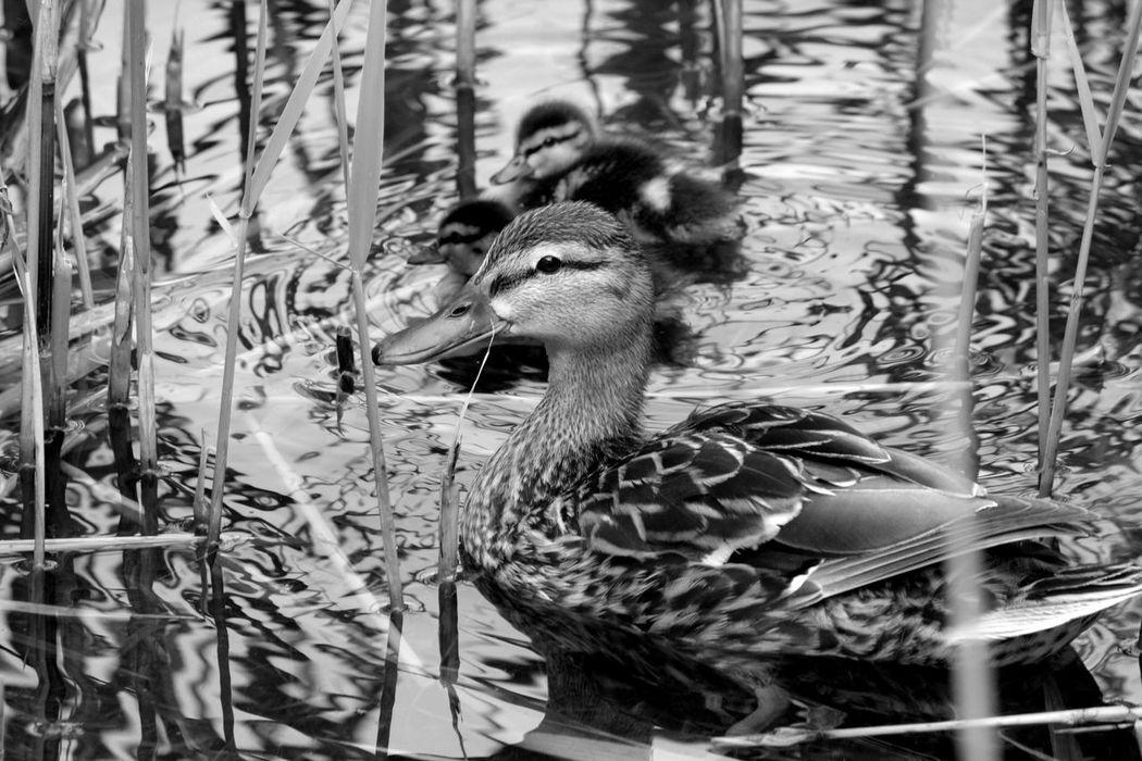 Canard Duck Bebe Blackandwhite Noir Et Blanc Lac De Créteil Creteil Nature Wild Animaux