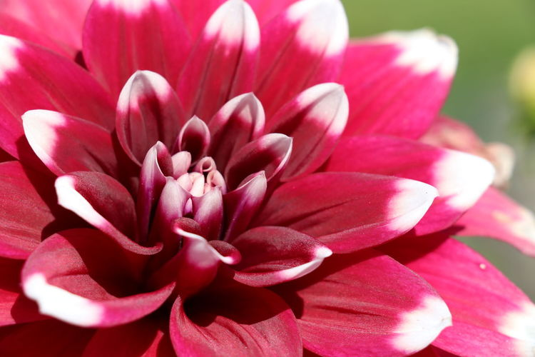 marvelous dahlia pinnata flower Dahlia Pinnata Beauty In Nature Blooming Close-up Day Flower Flower Head Fragility Freshness Growth Nature No People Outdoors Petal Pink Color Plant