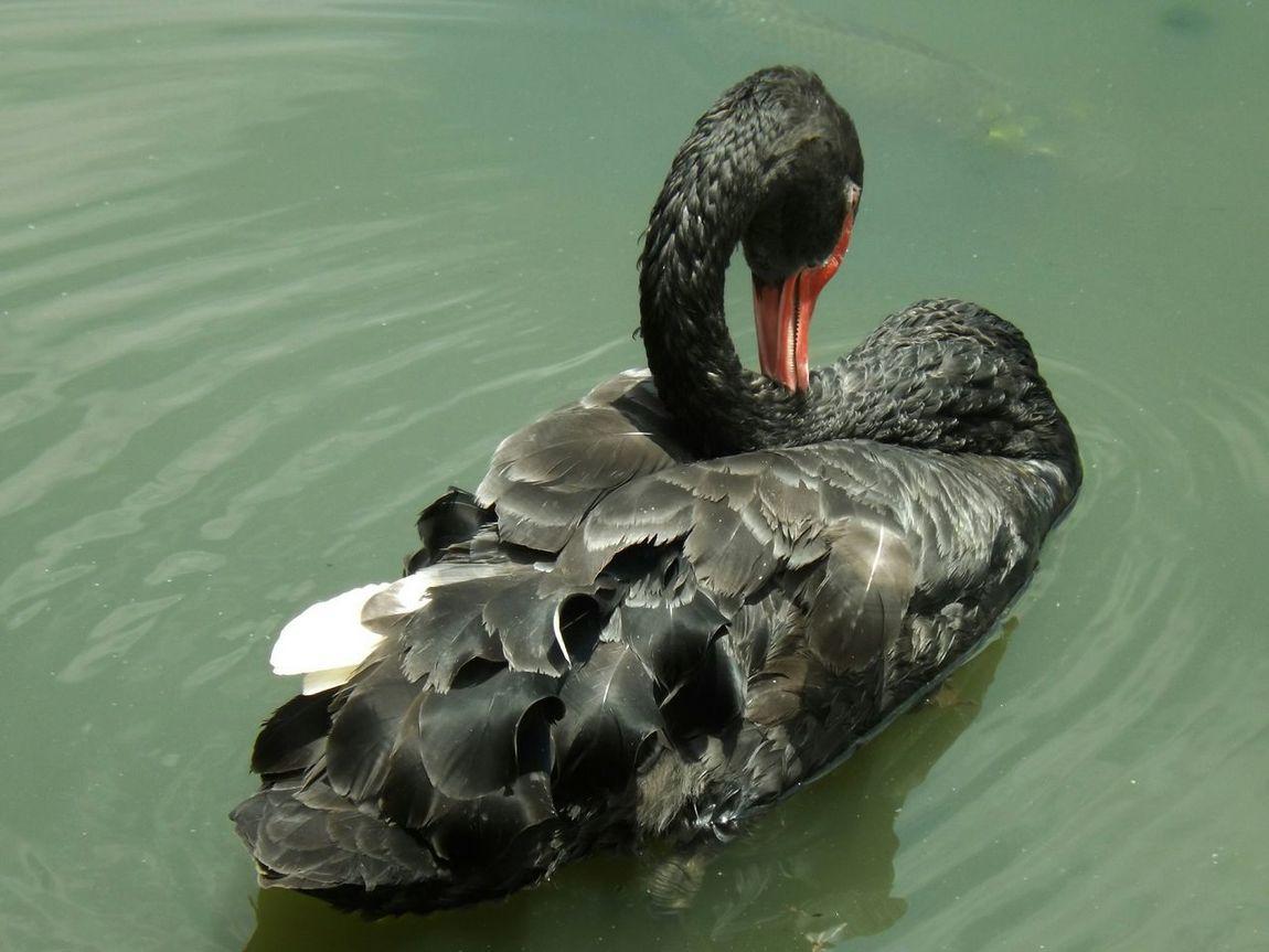 Black Swan Lake Nature ParqueIbirapuera-SP Brasil Eyem