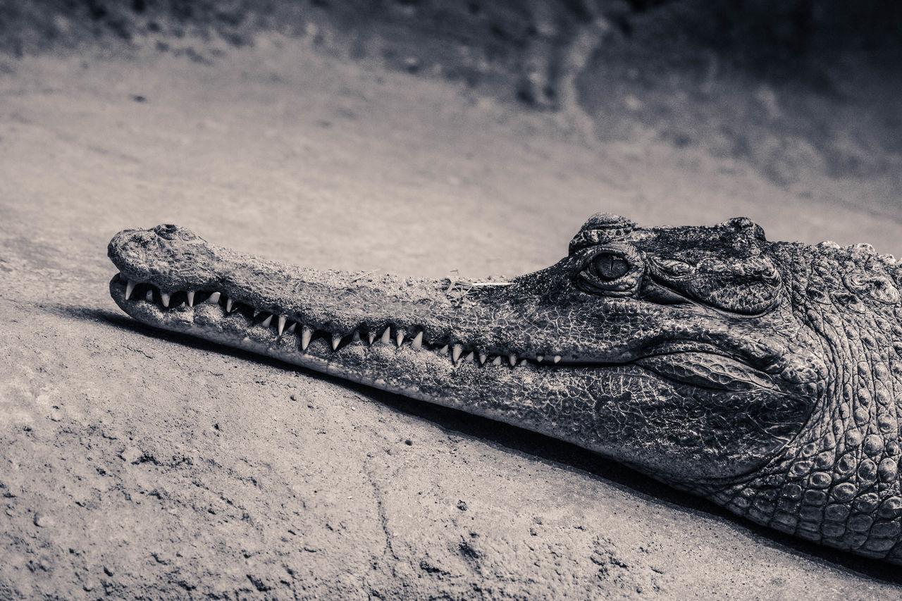 Animal Blackandwhite Close-up Crocodile Lounging Nature Reptile Scales Zoo