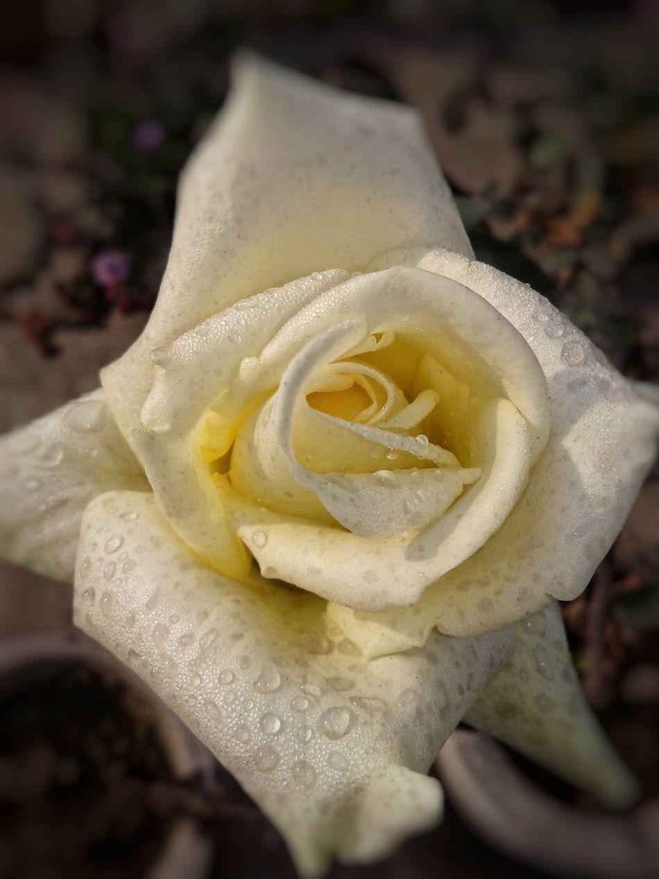 Flower Head Love Natural Rose🌹 White Rose White Flowers Flowerslovers Freshness Droplets On Flower Flower Females Water