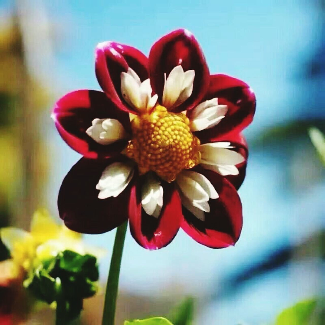 flower, petal, flower head, red, nature, close-up, fragility, beauty in nature, freshness, focus on foreground, growth, blooming, plant, no people, yellow, outdoors, day