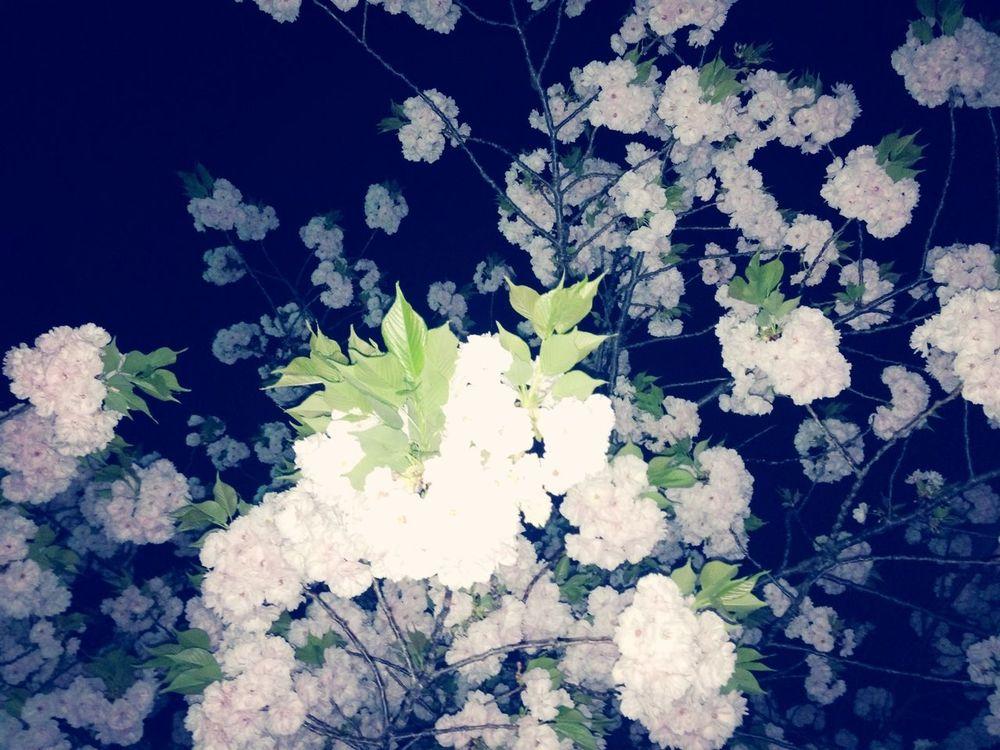 Taking Photos Nightphotography Cherry Blossoms 退勤なう