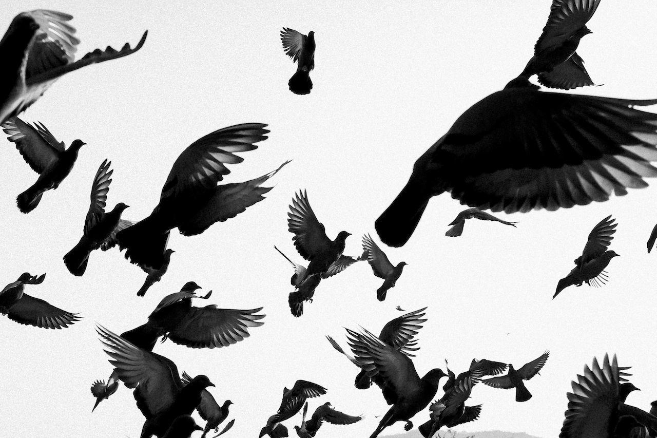 Pigeons Bird Birds Black And White Flock Of Birds Flying No People Pigeon Pigeons The Week On EyeEm