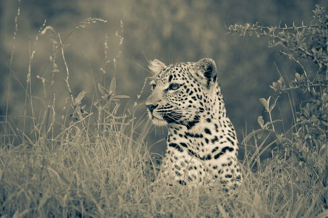 One Animal Animals In The Wild Eyem Nature Lovers  Eyemphotography Eyem Best Shots Eyem Gallery Safari Animals Nature Wildlife Outdoors Feline Nature_collection South Africa No Person Beauty In Nature EyeEm Nature Lover Outdoor Photography Leopard Tranquility EyeEm Best Shots Upclose And Personal Nature