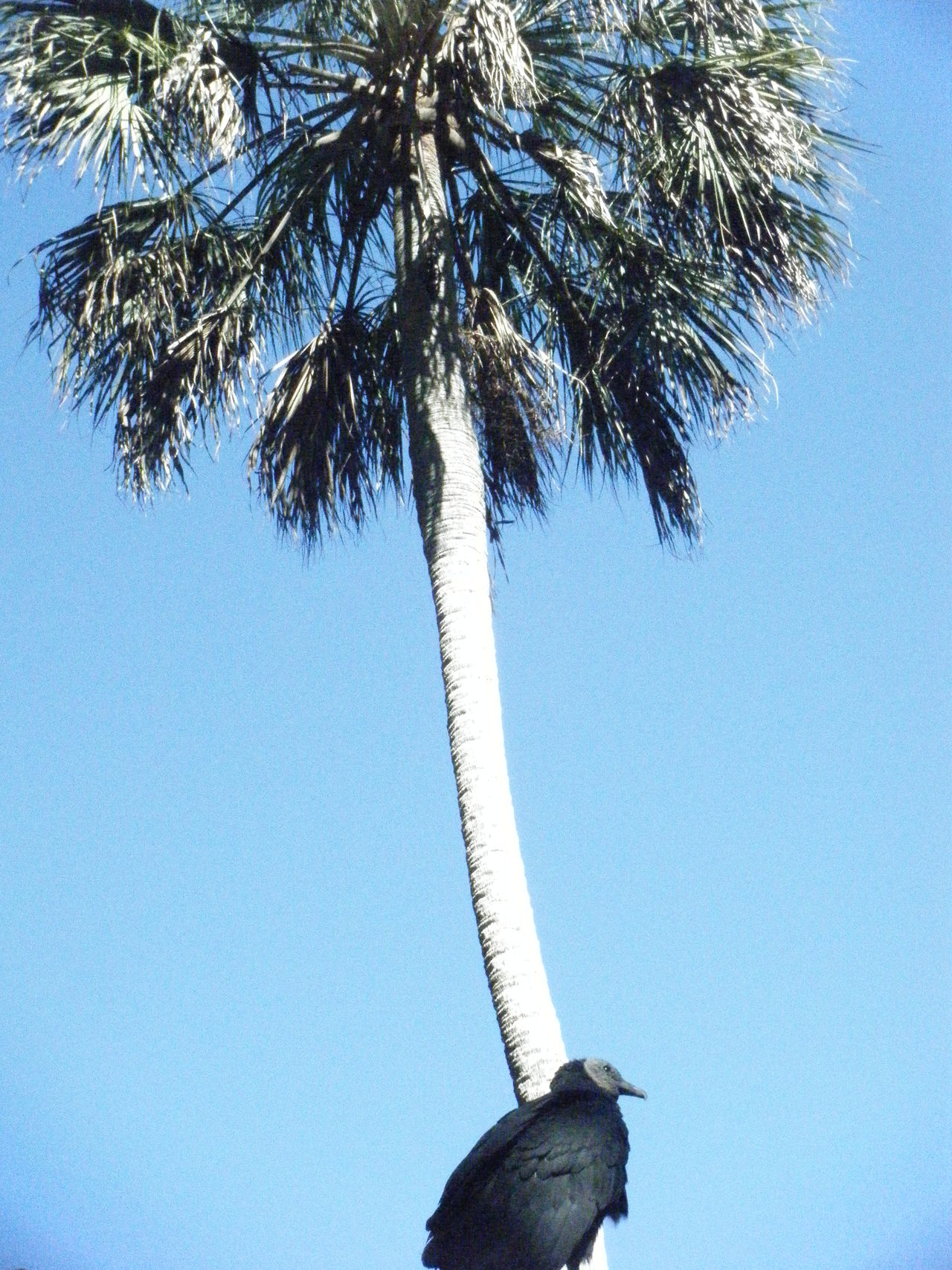 Tree Palm Tree Bird Grouse Sky Blue
