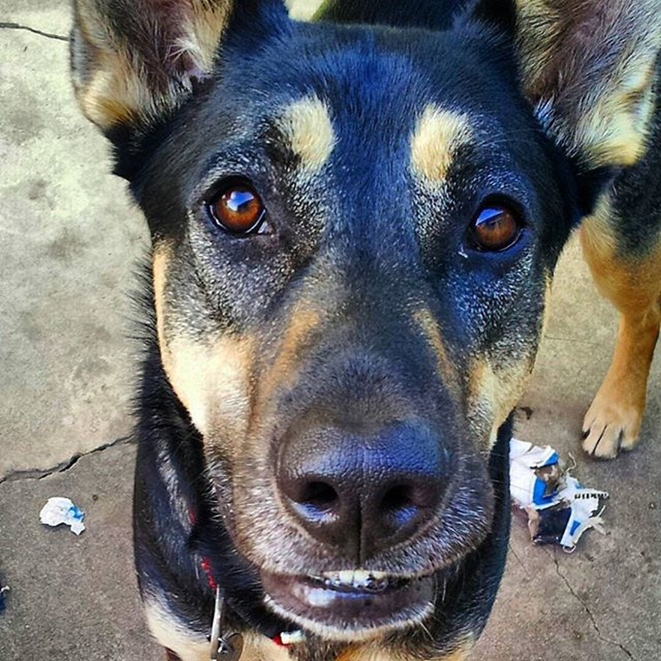 "My favorite picture of Dave. I told him to ""smile"". .. see his teeth. Gsdlover Germanshepherdsofinstagram Germanshepherd Dogswithhumannames Dogsrule"