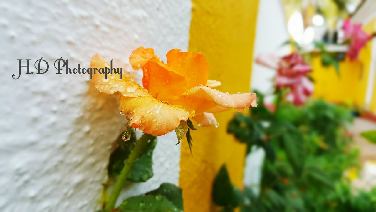 flower, freshness, no people, close-up, petal, fragility, flower head, outdoors, day, nature, beauty in nature