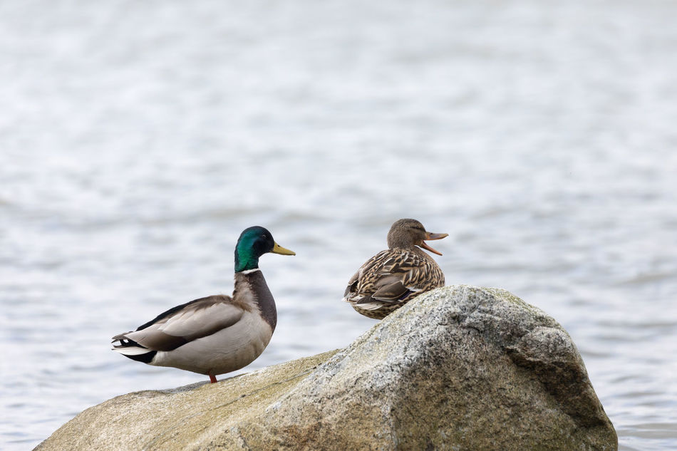 Mallard duck couple sitting on a big rock while she's quacking Animal Wildlife Animals In The Wild Baltic Sea Beak Beauty In Nature Bird Close-up Female Animal Focus On Foreground Irritated Male Animal Mallard Duck Mouth Open Nature Noise Outdoors Perching Quacking Rock - Object Sea Side View Stone - Object Togetherness Two Animals Water