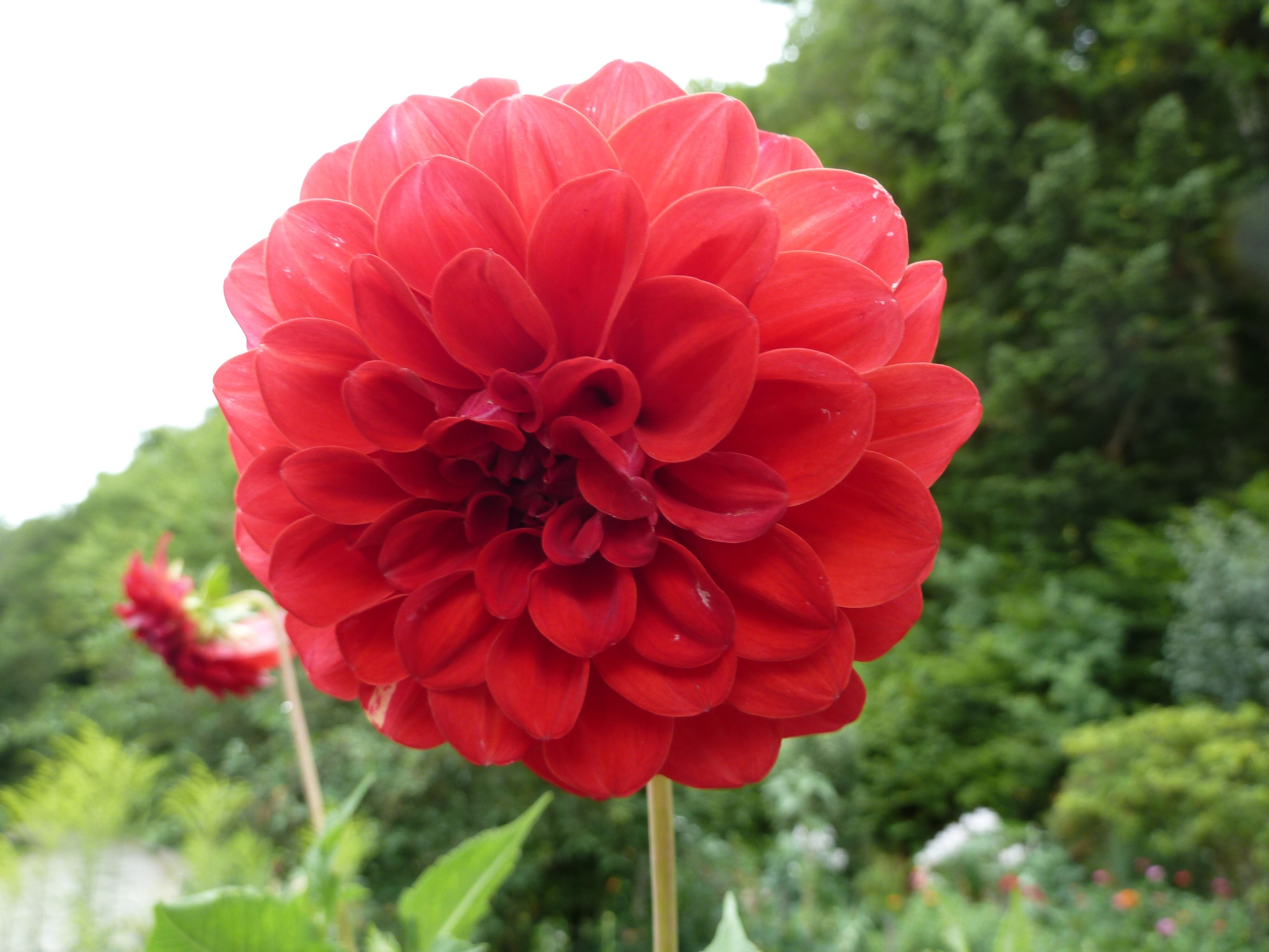 flower, petal, beauty in nature, fragility, red, freshness, nature, growth, flower head, focus on foreground, blooming, plant, day, close-up, outdoors, no people, zinnia
