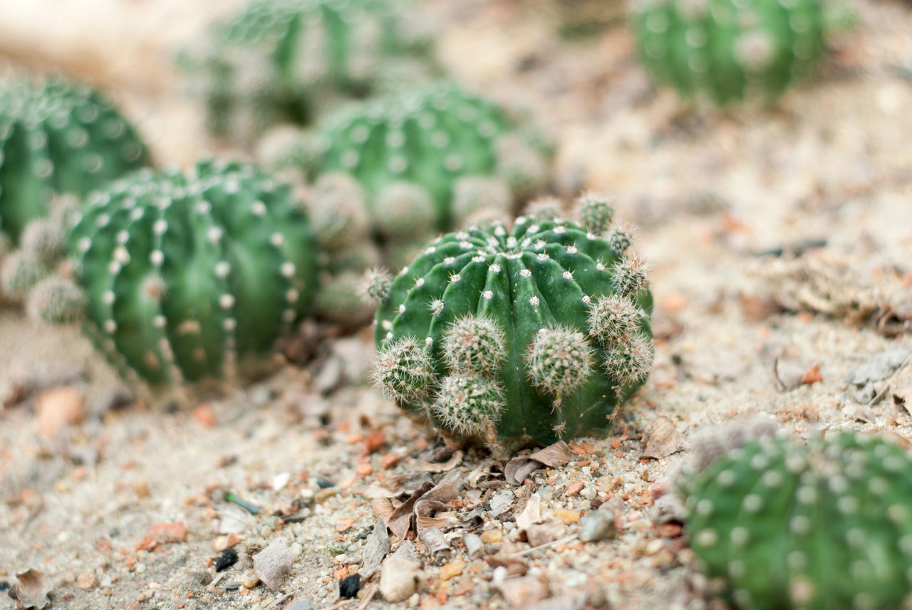 cactus, green color, growth, spiked, thorn, nature, no people, close-up, plant, selective focus, field, day, outdoors, food, beauty in nature, prickly pear cactus, freshness