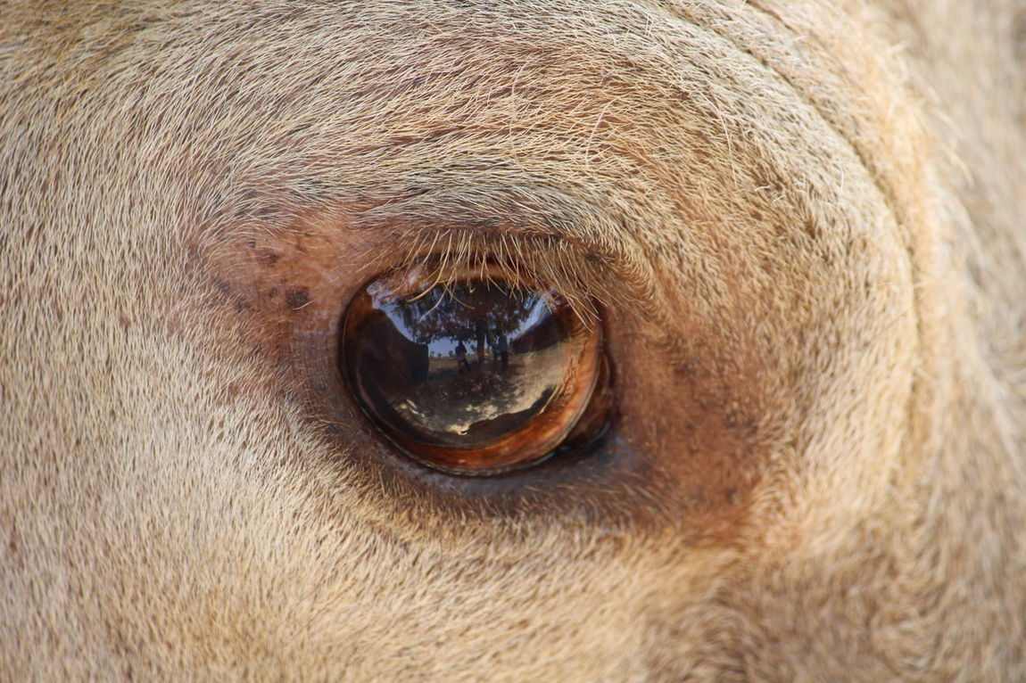 Check This Out My Reflection in Buffalos Eye Unique Moments Farm Life Animal Photography No People Beauty In Nature Close-up Nature Photography Art Gallery EyeEm Best Shots Eyeem Eye Hanging Out Taking Photos April 2016 India