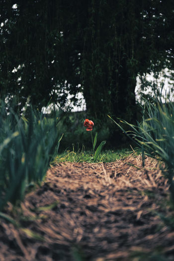 Bow to the King. Beauty In Nature Bokeh Bokeh Photography Day Depth Of Field EyeEm Best Shots EyeEm Nature Lover EyeEmBestPics EyeEmNewHere Flower Focus Object Fragility Garden Grass Green Growth Harvest Hay Nature No People Outdoors Red Roses Tranquility Tulip BYOPaper! EyeEmNewHere