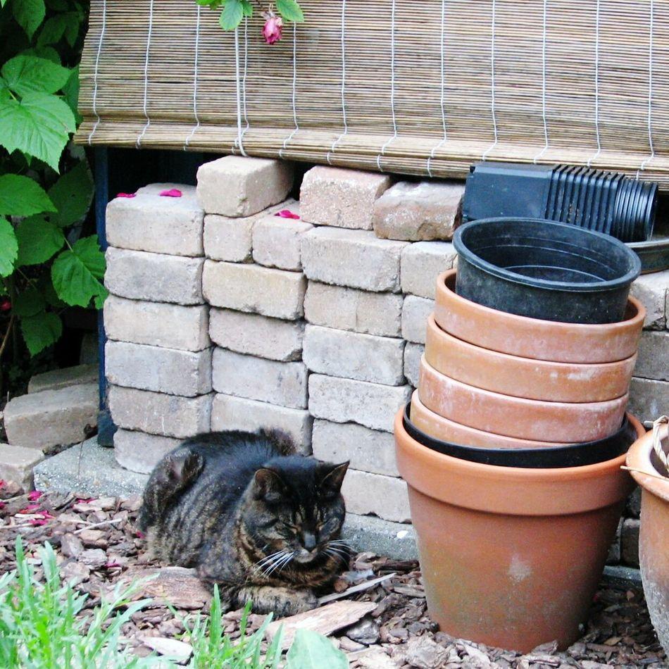 Sylvester Old Cat Tabby Cat Mighty Hunter Old Photo Garden Wood Store Bricks Flower Pots In The Sunshine Summer Rose Petals