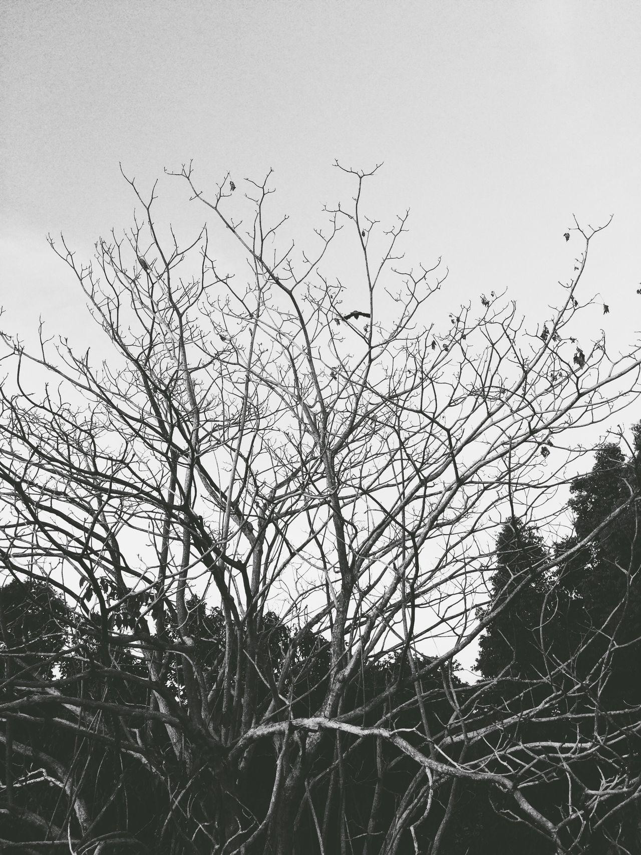 Black And White Blackandwhite Nature Tree IPhoneography VSCO Vscocam Silhouette Branches Branches And Sky Beauty In Nature Beauty Redefined Minimalism Landscape Eyemphotography