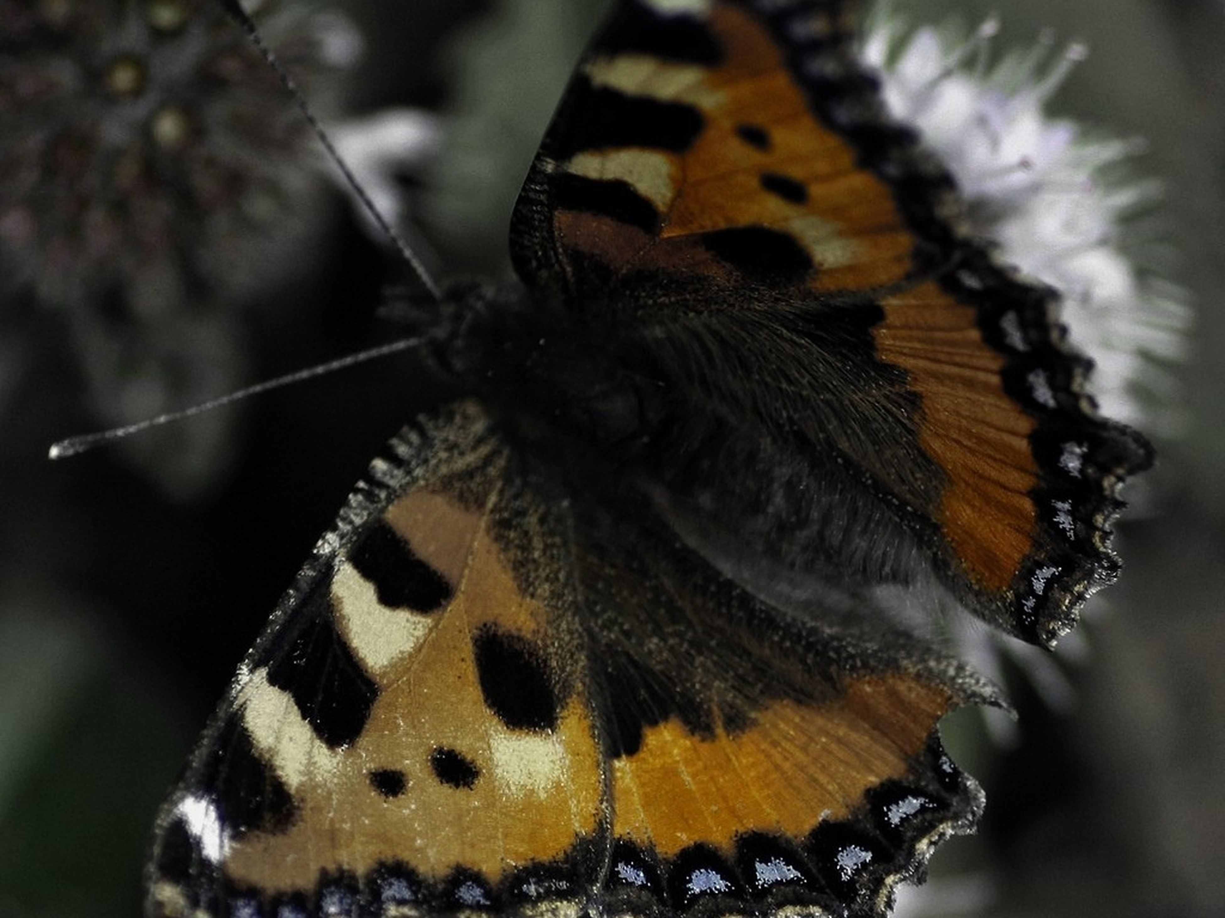 animals in the wild, animal themes, one animal, insect, wildlife, animal markings, focus on foreground, butterfly - insect, close-up, natural pattern, butterfly, nature, beauty in nature, animal wing, day, outdoors, fragility, selective focus, animal antenna, perching