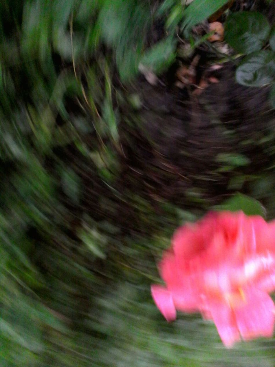 Blurred Motion Motion The Color Of Technology Long Exposure Flower Selective Focus Multi Colored Softness Fragility Rose - Flower Showcase: 2016Nature Outdoors Vibrant Color Petal Wolfzuachis Ionitaveronica @wolfzuachis Glitch Movement Eyeemphoto On The Move Spin Shot On Market Spining