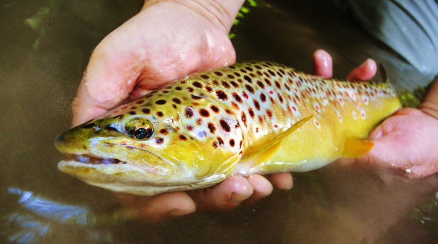 Brown trout. Flyfishing  Browntrout Trout Catch And Release