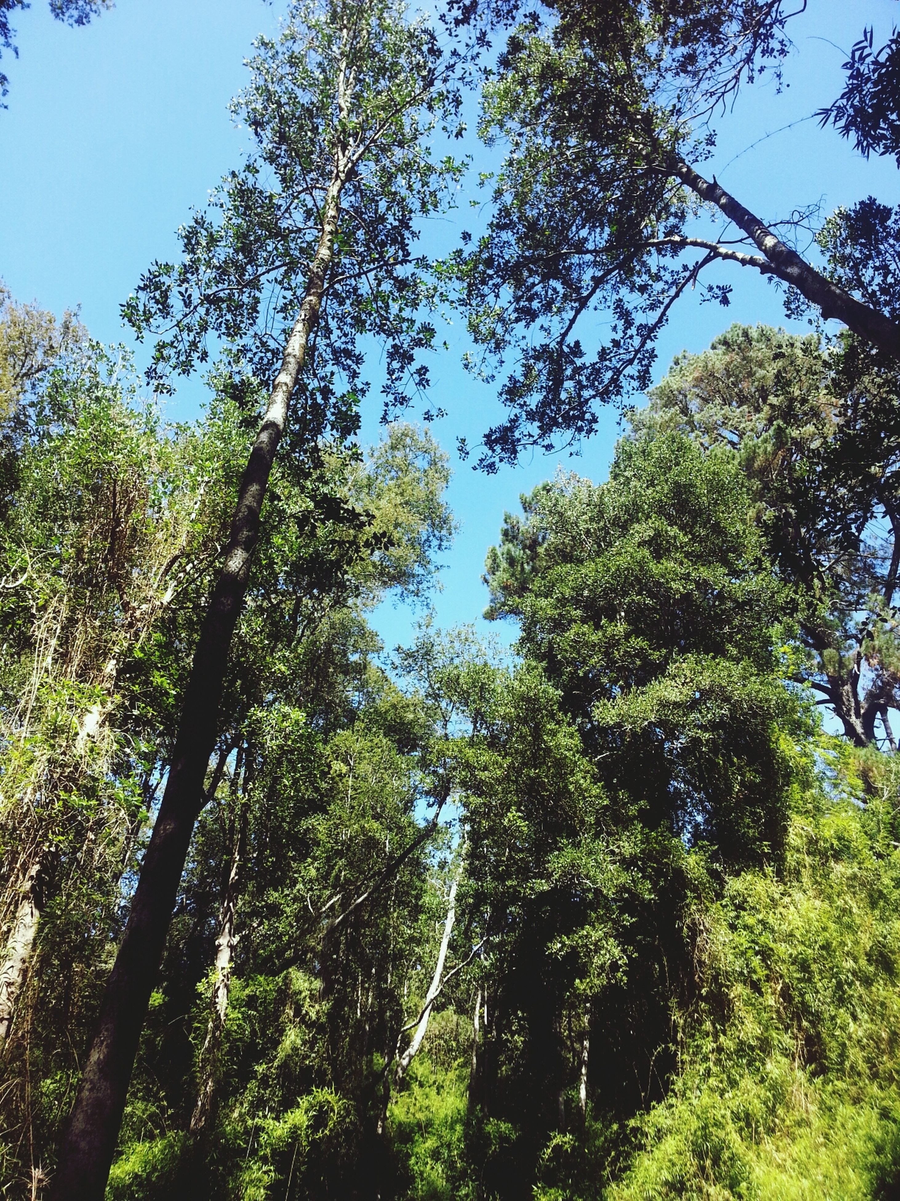 tree, low angle view, growth, green color, branch, tranquility, nature, beauty in nature, sky, clear sky, lush foliage, tranquil scene, forest, tree trunk, day, blue, scenics, green, sunlight, no people