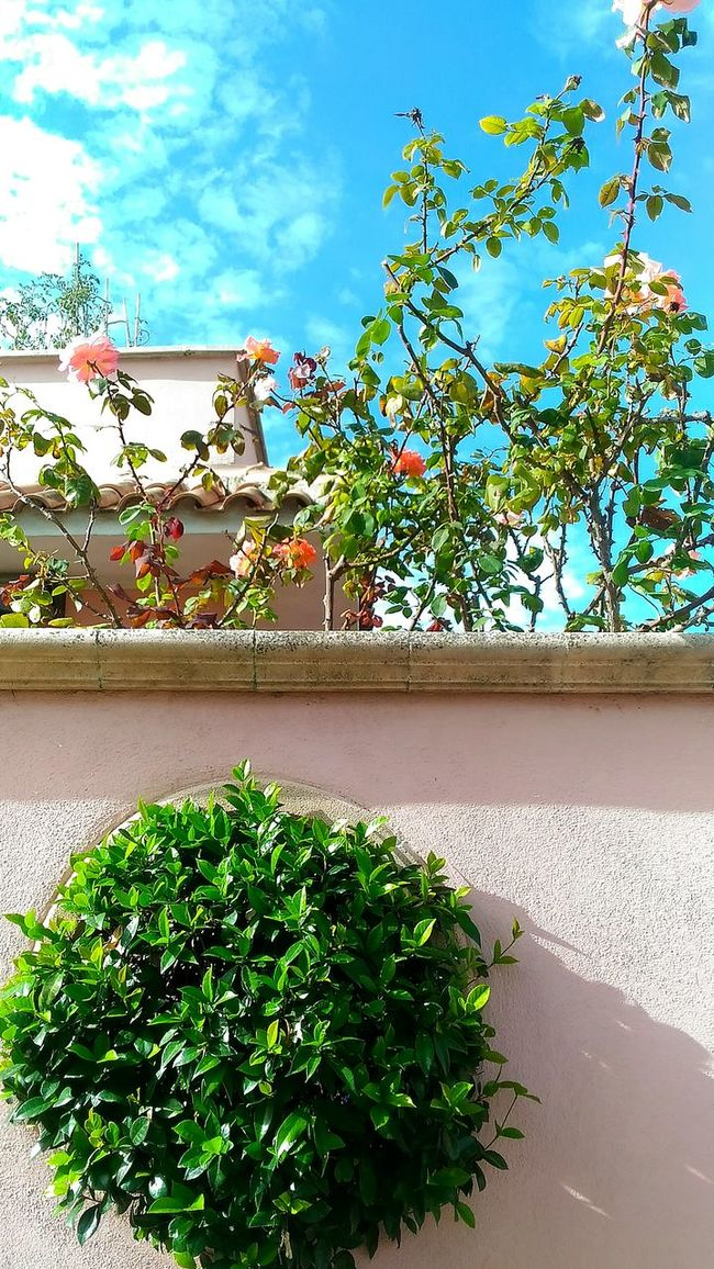 Peach color Growth Green Color Nature Plant Vertical City No People Day Sky Outdoors Building Exterior Architecture Sunlight Roses Peach Color Peach Rose Fiumicino Italy Gardening Garden Photography Garden Flowers Garden Love