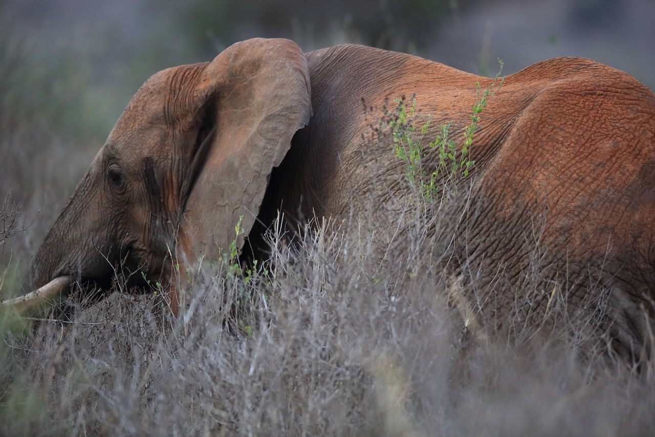 red elephant in Tsavo West, Kenya Africa African Elephant Animal Body Part Animal Themes Animal Wildlife Animals In The Wild Elephant Mammal National Parks Kenya One Animal Red Elephant Red Soil Tsavo West