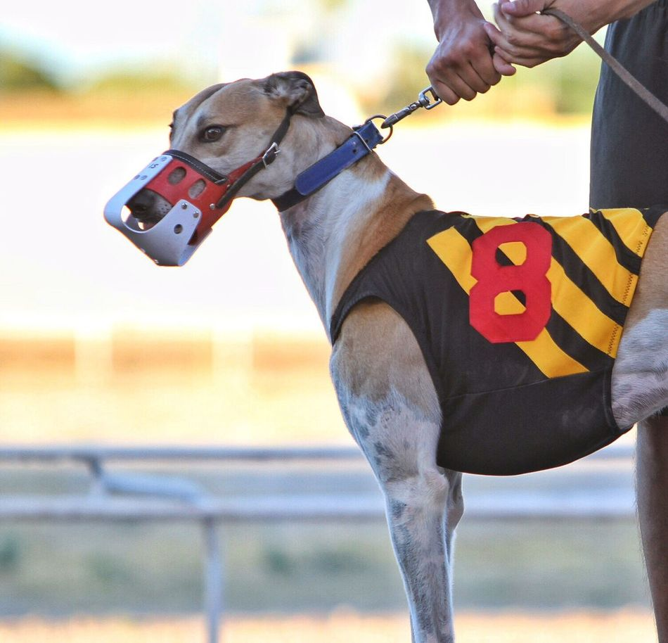 Greyhound Racer. I love the dog but hate this cruel sport. Praying for the day Tucson bans it. Dogracing Greyhound Racing GreyHound Love Greyhounds Dogs Sports Photography Sportsphotography Taking Photos