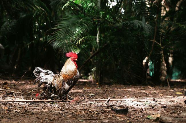 Chicken. Life Animal Thailand Lovephotography  Chickens Pet Photography  Chickens >.< Pet Animal Photography Animal Love