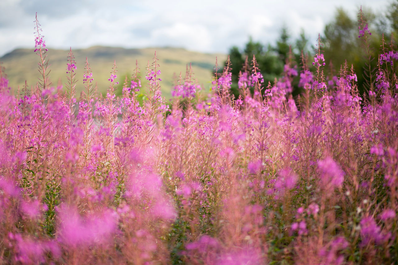 pink blooming Agriculture Beauty In Nature Close-up Day Field Flower Flower Head Fragility Freshness Growth Idyllic Landscape Lavender Nature No People Outdoors Pink Color Plant Purple Rural Scene Scenics Sky Tranquil Scene
