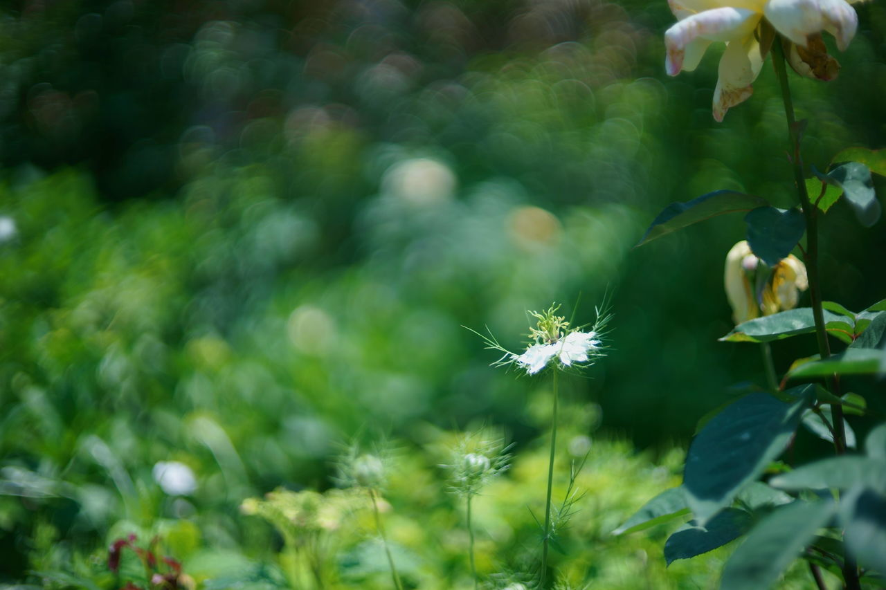 Nigella Animal Themes Beauty In Nature Close-up Day Flower Flower Head Focus On Foreground Fragility Freshness Green Color Growth Nature No People Outdoors Plant