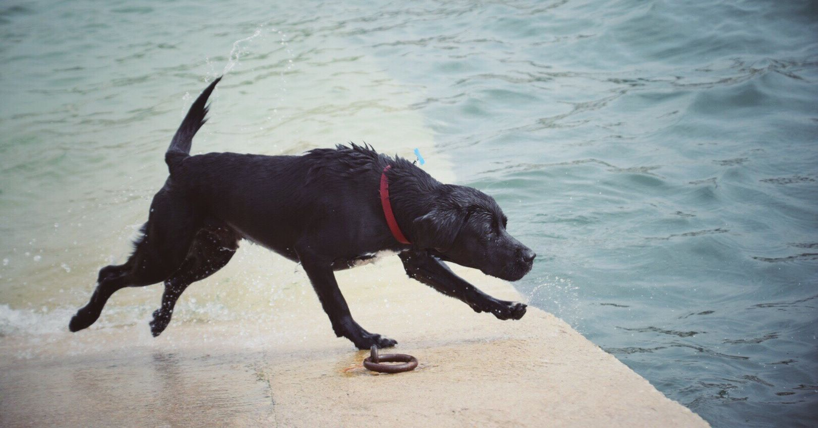 Ready...steady... Dog Pets One Animal Animal Themes Domestic Animals Mammal Wet Black Labrador Water Playing Black Color Pet Collar No People Labrador Retriever Full Length Outdoors Beach Day Nature Kernow Black Labrador St Mawes Harbour Sea Swimming Cornwall Uk