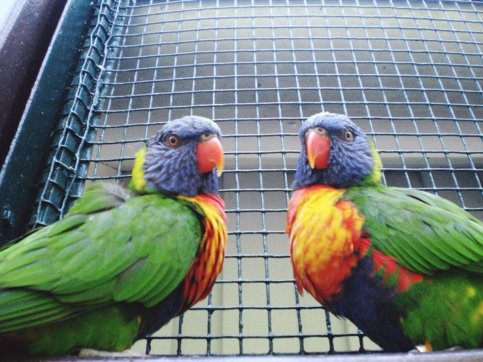 Animals In Captivity Bird Animal Themes Cage Parrot Close-up No People Day Bird In Captivity