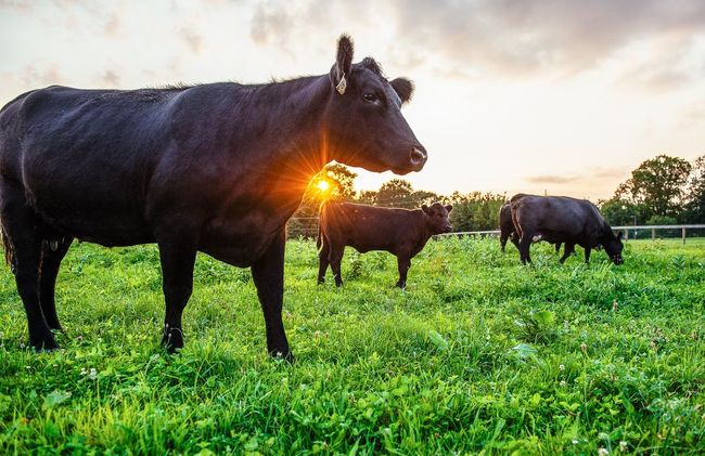 Last Rays Animal Beef Black Angus Chester County Client Work Countryside Cow Farm Field Gig Grass Grazing Job Livestock Nature Pennsylvania