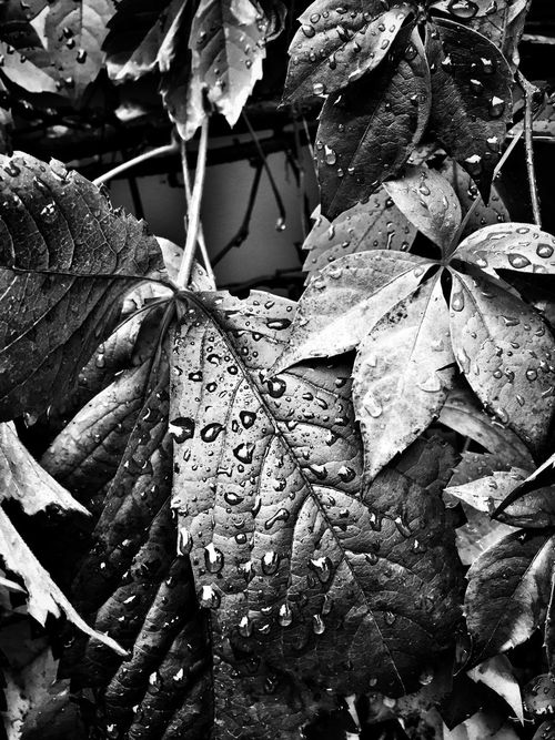After The Rain... Blackandwhite Black And White Black & White Shades Of Grey Blackandwhite Photography Bw_collection Iphoneartistry
