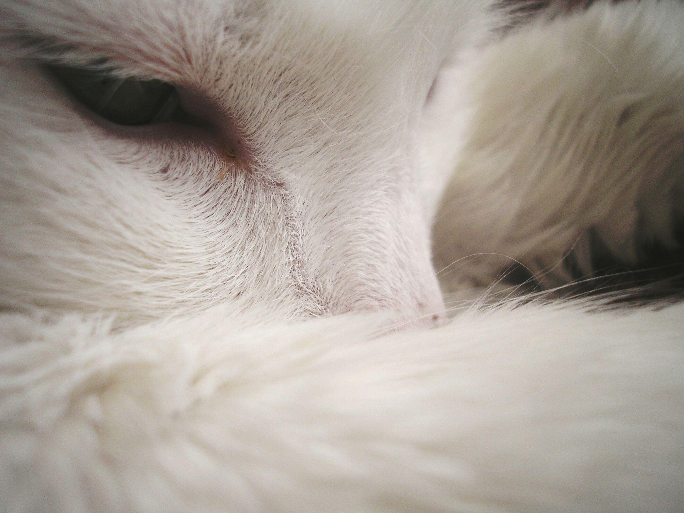Cat Pet Home Macro WhiteAnimal SweetKitty SoftWool Afternoon Photo HomePet Home Sweet Home пушок  Котик мяу белый шаурма пушистый лентяй спиткот Зеленые глаза любимыйкот питомец старичок